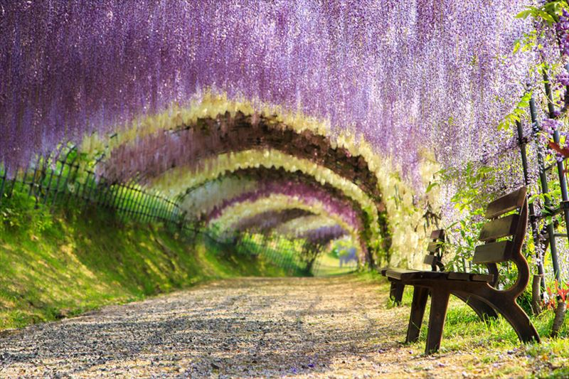 21. Wisteria flower tunnel, Kitakyushu, Japan_R
