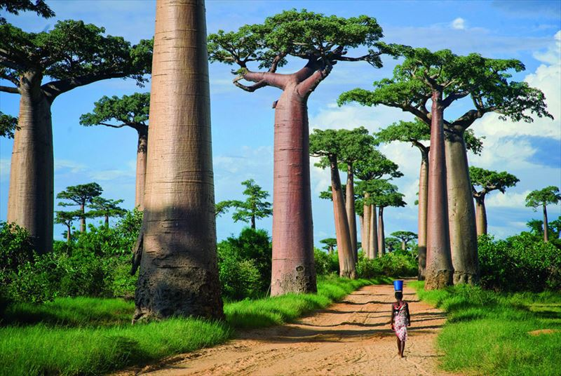 23. Avenue of the Baobabs, Madagascar, Africa_R