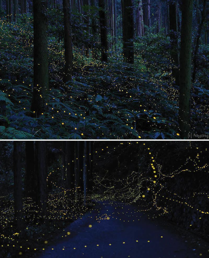 9. Firefly Forest, Chugoku Region, Japan_R