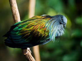 nicobar-pigeon-colorful-dodo-relative-3-1
