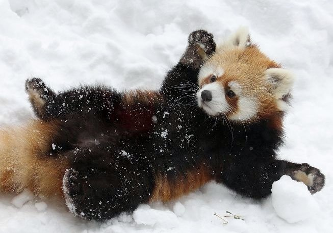baby red panda in snow wallpaper