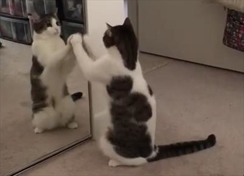 cat-dances-with-mirror-reflection-6_r