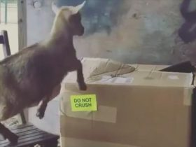 goat-jumps-in-box-2_r