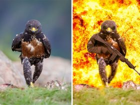 funny-hawk-photoshop-battle-1