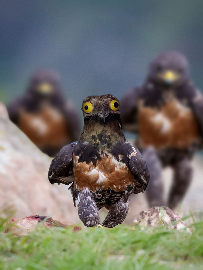 funny-hawk-photoshop-battle-12