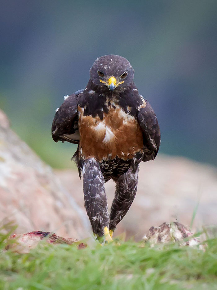 funny-hawk-photoshop-battle-2