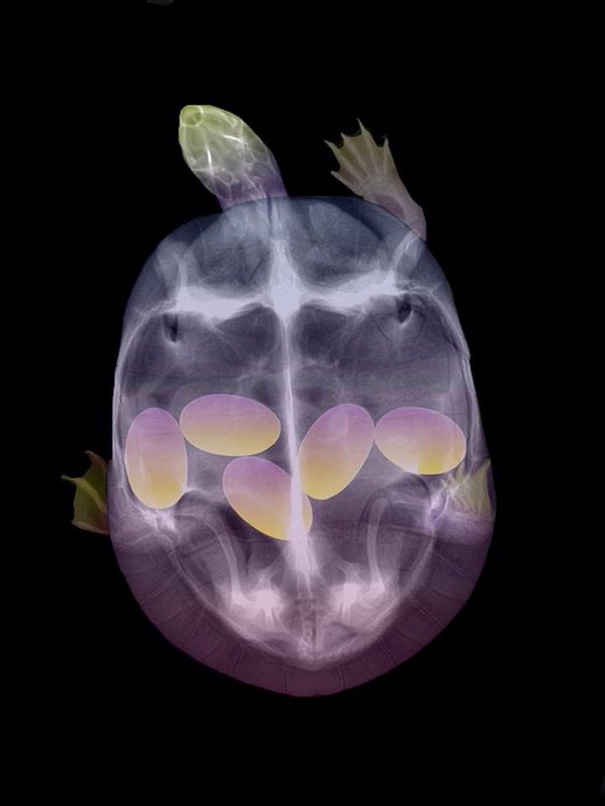 1-x-ray-of-a-pregnant-turtle