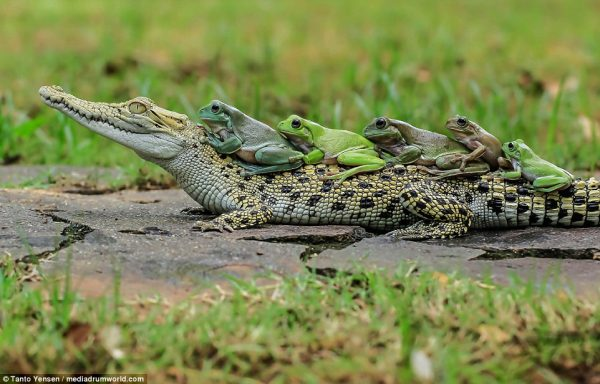 3a0deb3e00000578-3904832-these_brave_frogs_showed_no_fear_when_they_hopped_onto_a_caiman_-a-2_1478258023804