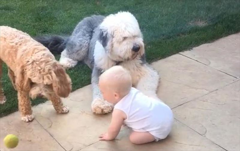 cute-fetch-masterclass-old-english-sheepdog-cockapoo-baby-ball-2_r
