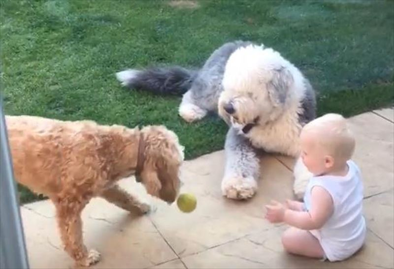cute-fetch-masterclass-old-english-sheepdog-cockapoo-baby-ball-3_r