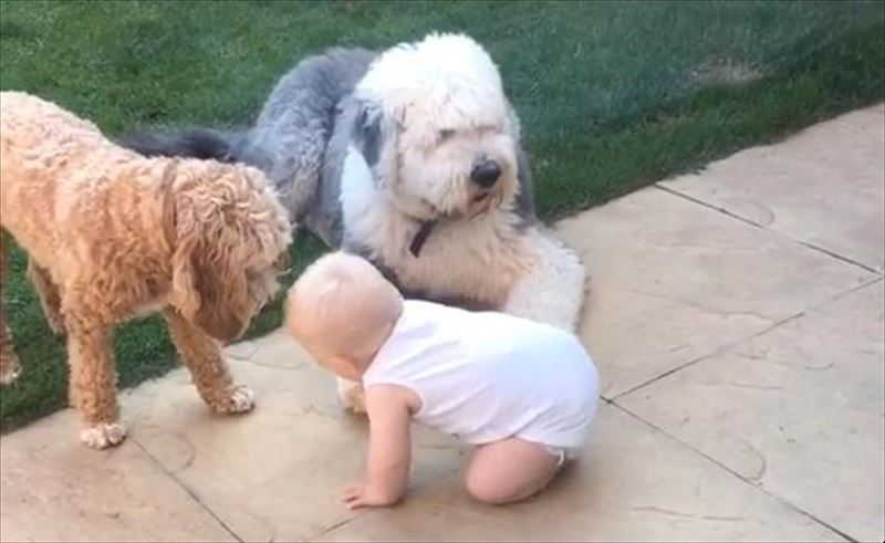 cute-fetch-masterclass-old-english-sheepdog-cockapoo-baby-ball_r
