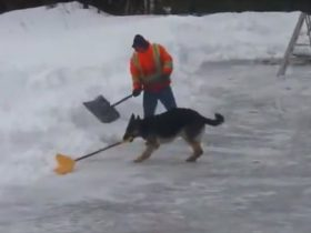 dog-helps-shovel-snow-7_r