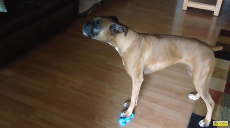 dog-sings-the-blues-with-squeaky-toy-3_r