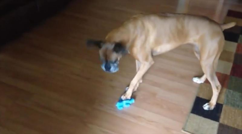 Dog Sings With Squeaky Toy