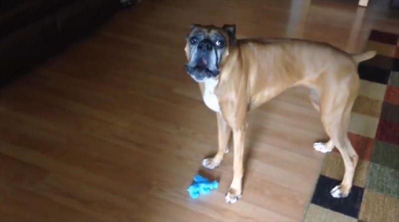 dog-sings-the-blues-with-squeaky-toy-5_r