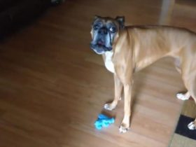 dog-sings-the-blues-with-squeaky-toy_r