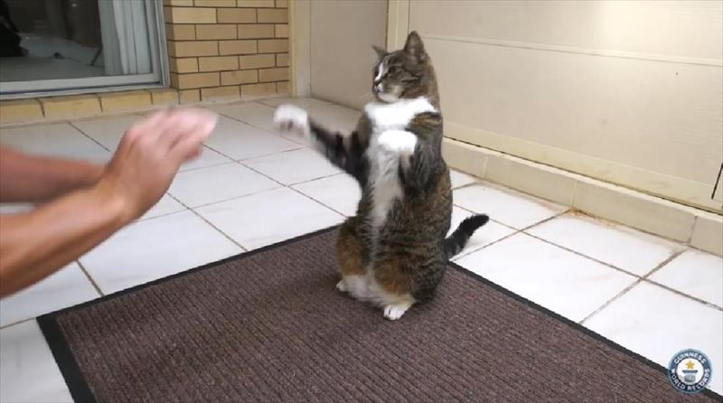 most-tricks-by-a-cat-in-one-minute-meet-the-record-breakers-4_r