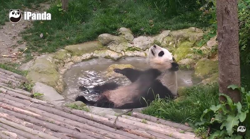 pandas-just-love-taking-baths-2_r