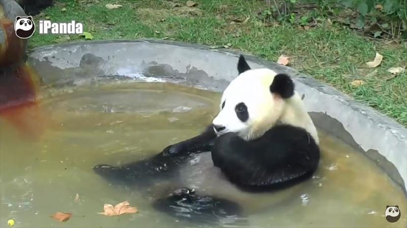 pandas-just-love-taking-baths-3_r