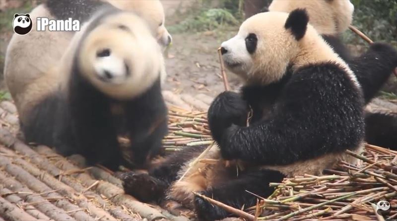 pandas-just-love-taking-baths-4_r