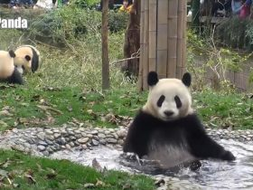 pandas-just-love-taking-baths_r