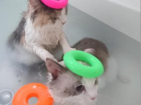 bathing-cat-8