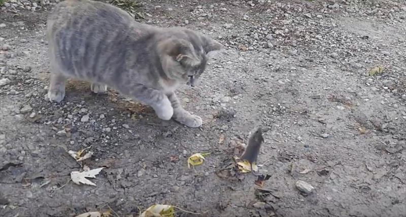 chicken-stealing-mouse-from-cat-4_r