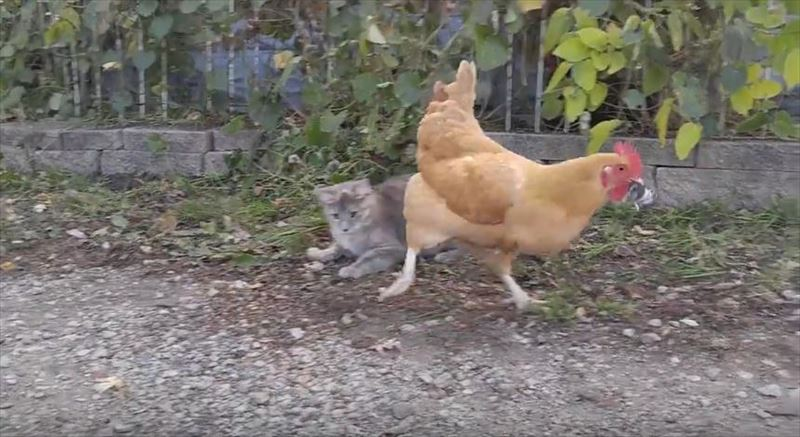 chicken-stealing-mouse-from-cat-8_r