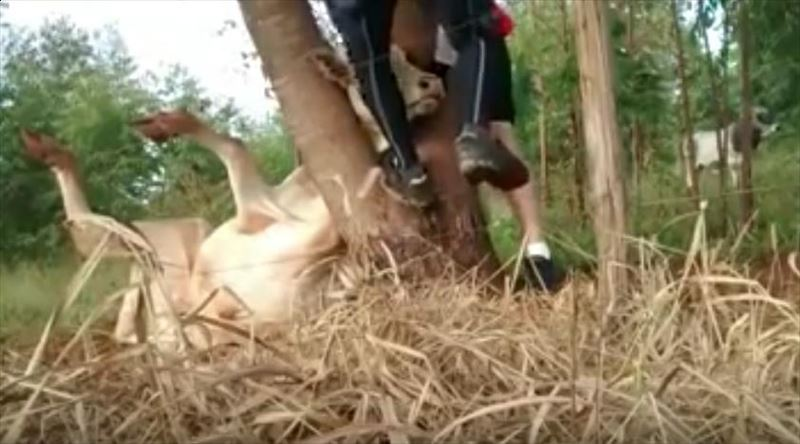 cow-stuck-in-tree-saved-by-cyclists-3g_r