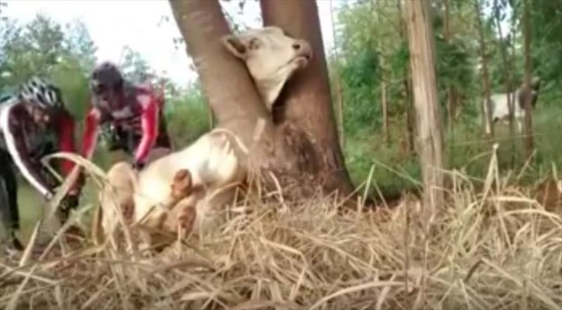 cow-stuck-in-tree-saved-by-cyclists-4_r