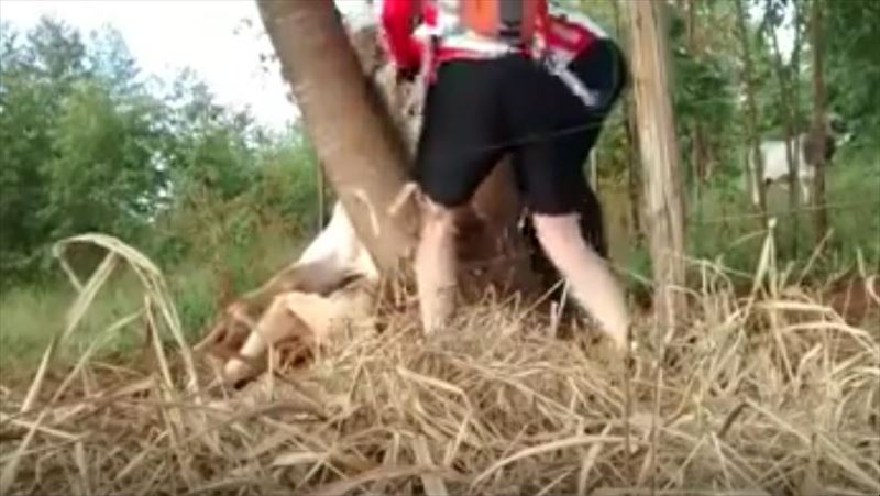 cow-stuck-in-tree-saved-by-cyclists-5_r