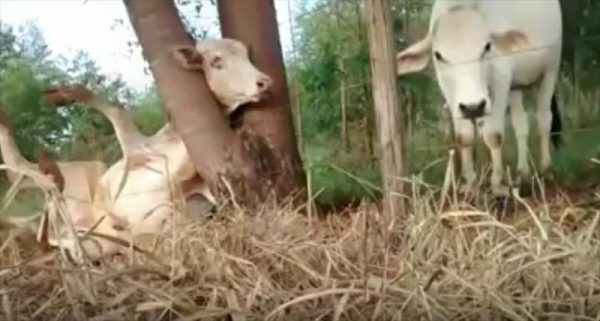 cow-stuck-in-tree-saved-by-cyclists_r