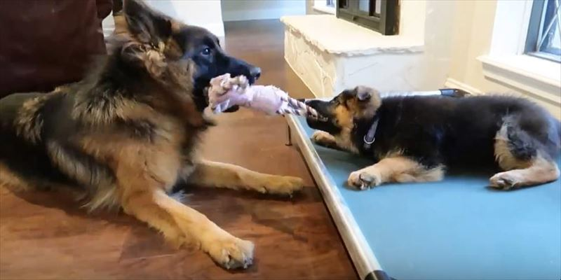 dog-and-puppy-play-tug-of-war-2_r