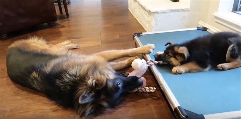 dog-and-puppy-play-tug-of-war_r