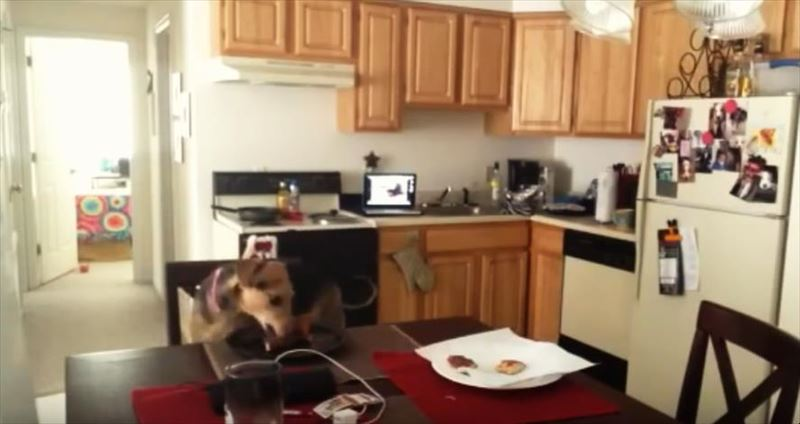 dogs-stealing-pizza-compilation_r
