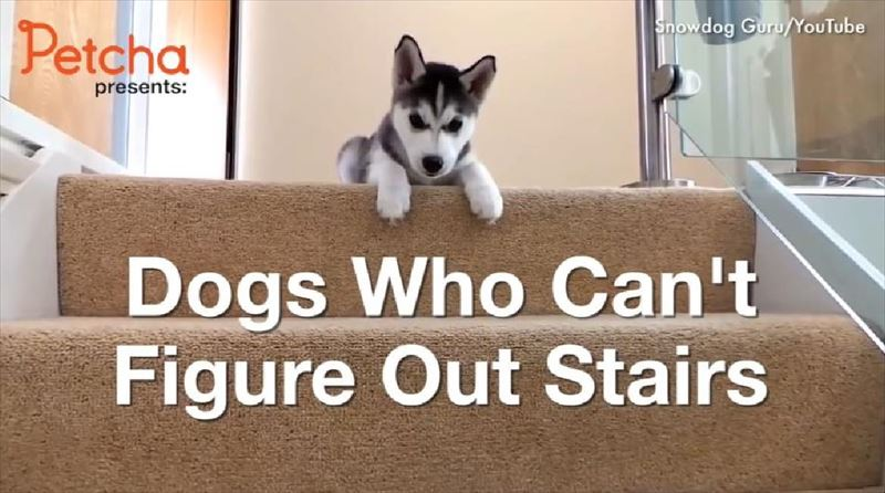 dogs-vs-stairs_r