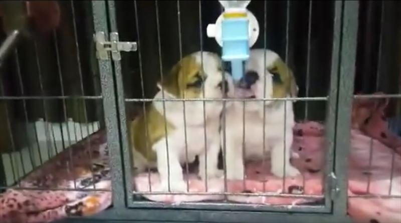 english-bulldog-puppies-preciously-share-drink-of-water_r