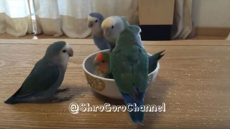flock-of-parrots-take-turns-for-bath-time_r