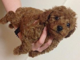 hand-ride-poodle-3