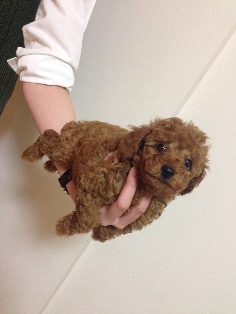hand-ride-poodle