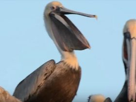 the-horrifying-act-of-yawning-pelicans-8_r