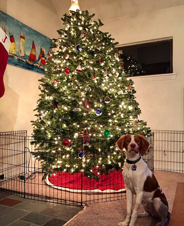 protecting-christmas-tree-from-dogs-cats-pets-14